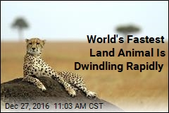 World's Fastest Land Animal Is Dwindling Rapidly