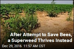 In Attempt to Save Bees, a Superweed Thrives Instead