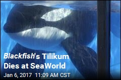 Blackfish 's Tilikum Dies at SeaWorld