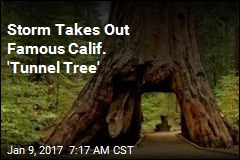 Storm Takes Out Famous Calif. 'Tunnel Tree'