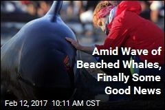 After 650 Beached Whales, Finally Some Good News