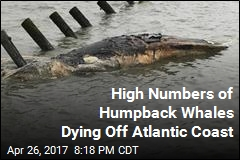 High Numbers of Humpback Whales Dying Off Atlantic Coast