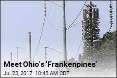 Meet Ohio's 'Frankenpines'