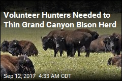 Volunteer Hunters Needed to Thin Grand Canyon Bison Herd