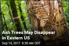 Most Ash Tree Species on Brink of Extinction in US