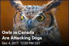 Owls in Canada Are Attacking Dogs