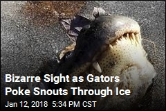 Chilly Gators Poke Heads Above Ice to Cope With Cold