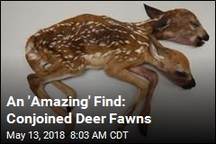 An 'Amazing' Find: Conjoined Deer Fawns