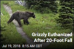 Grizzly Euthanized After 20-Foot Fall
