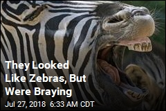 They Looked Like Zebras, But Were Braying