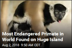 Most Endangered Primate in World Found on Huge Island