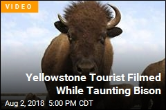 Yellowstone Tourist Nearly Gored While Taunting Bison