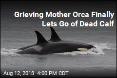 Grieving Mother Orca Finally Lets Go of Dead Calf