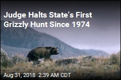 Judge Blocks Wyoming's First Grizzly Hunt in Decades