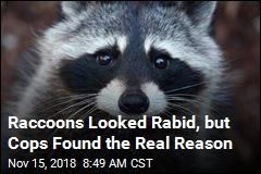 Raccoons Weren't Rabid, Just Tipsy