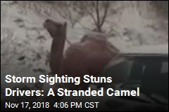 Strange Sighting Amid US Snowstorm: a Camel