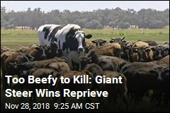 Too Beefy to Kill: Giant Steer Wins Reprieve