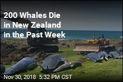 Another Mass Whale Stranding in New Zealand