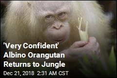 Only Known Albino Orangutan Is Back in the Wild