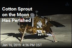 Cotton Sprout on the Moon Has Perished