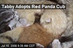 Tabby Adopts Red Panda Cub
