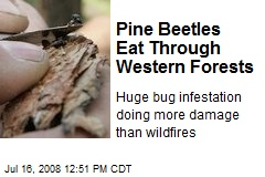 Pine Beetles Eat Through Western Forests