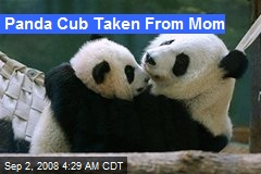 Panda Cub Taken From Mom