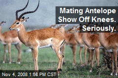 Mating Antelope Show Off Knees. Seriously.