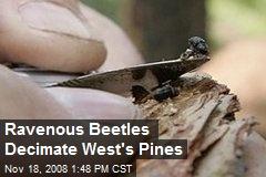 Ravenous Beetles Decimate West's Pines