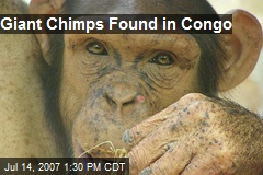 Giant Chimps Found in Congo