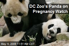 DC Zoo's Panda on Pregnancy Watch