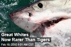 Great Whites Now Rarer Than Tigers