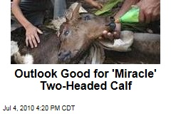 Outlook Good for 'Miracle' Two-Headed Calf