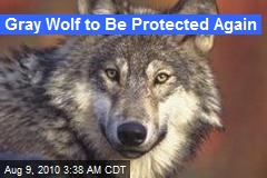 Gray Wolf to Be Protected Again