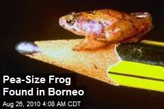 Pea-Sized Frog Found in Borneo