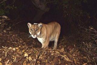 Kentucky Shoots First Cougar in 150 Years