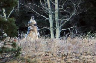 Rare Gray Wolf in Utah Shot by Mistake