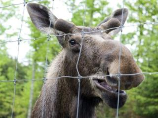 Moose Tries to Move Onto Vermont Farm, Fails
