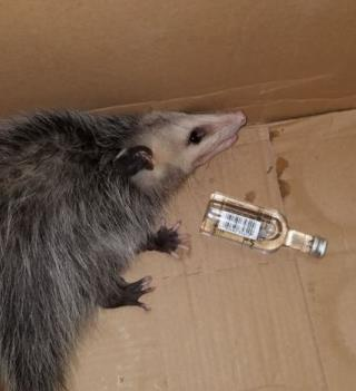 Opossum Breaks Into Liquor Store, Gets Drunk on Bourbon