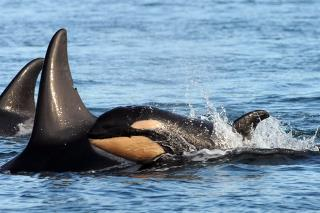Scientists Observe a Grisly First Among Orcas