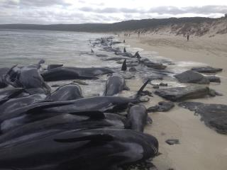 Over 140 Whales Die After Getting Stranded in Australia
