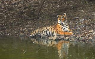 Tiger That Terrorized India Has Been Killed