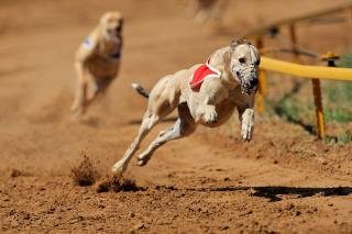 Florida Bans Dog Racing, Fate of Greyhounds Unclear
