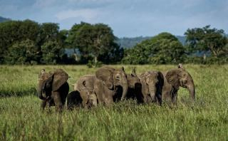 Elephants Evolve in Way That Thwarts Poachers