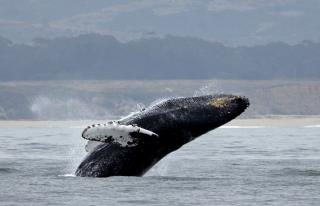 Scientists Just Discovered a Quirk of Whale Songs