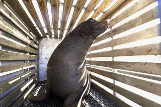 Senate Streamlines Process to Kill Sea Lions in Pacific NW
