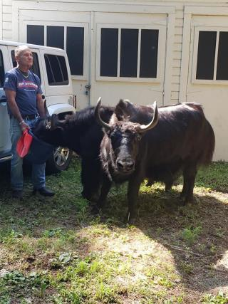 Escaped Yaks Charge Massachusetts Hiker