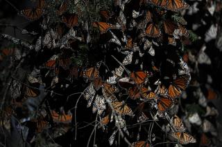 Second Monarch Butterfly Activist Found Dead in Mexico