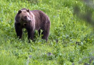 Woman Attacked by Grizzly During Solo Yellowstone Stroll