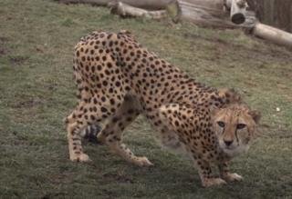 Cheetah Attacks Zoo's Giraffe Keeper